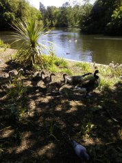 Dulwich Park Geese Line
