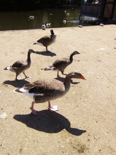 Dulwich Park Geese - Laura Spoonie