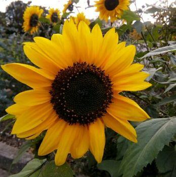Sunflower photograph - Laura Spoonie