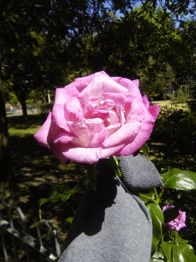 A pink rose - I didn't want to prick my hand on the thorns so I rolled my sleeve up