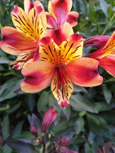 Alstroemeria psittacina a.k.a Peruvian Lily - Kew Gardens - Laura Spoonie
